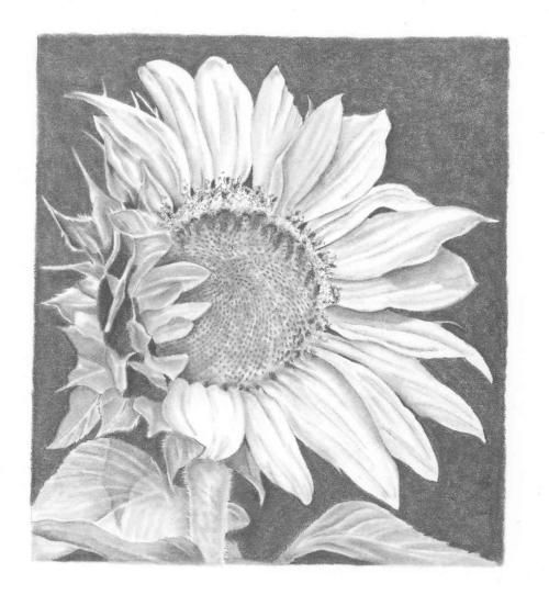 Pencil drawing sunflowers http www wetcanvas com forums showthread