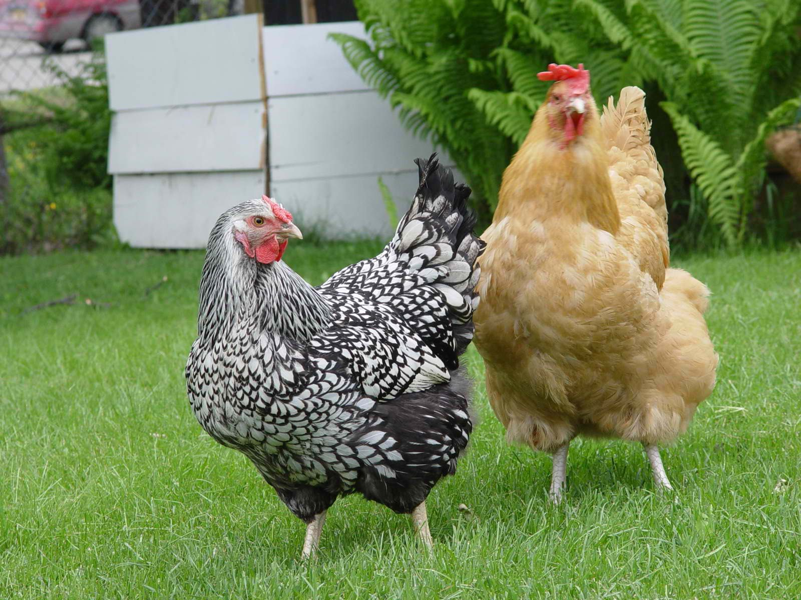a healthy chicken lays about 265 eggs each year then they cluck