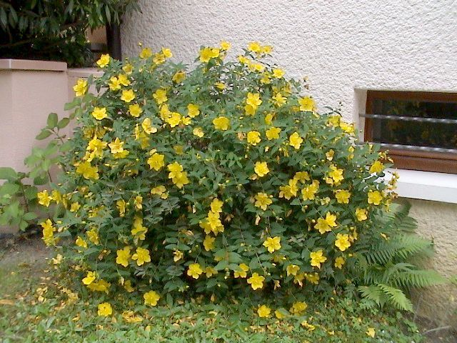 hypericum plante jardin pinterest millepertuis couvre sol et arbuste. Black Bedroom Furniture Sets. Home Design Ideas