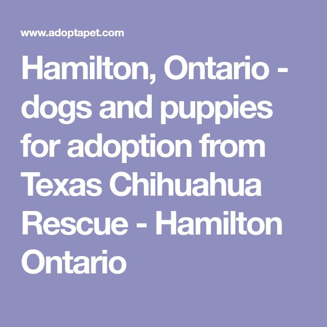 HAMILTON, ONTARIO - TEXAS CHIHUAHUA RESCUE - Dogs and