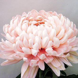 Image Result For Chrysanthemum Blush Chrysanthemum Flower October Flowers Chrysanthemum Bouquet