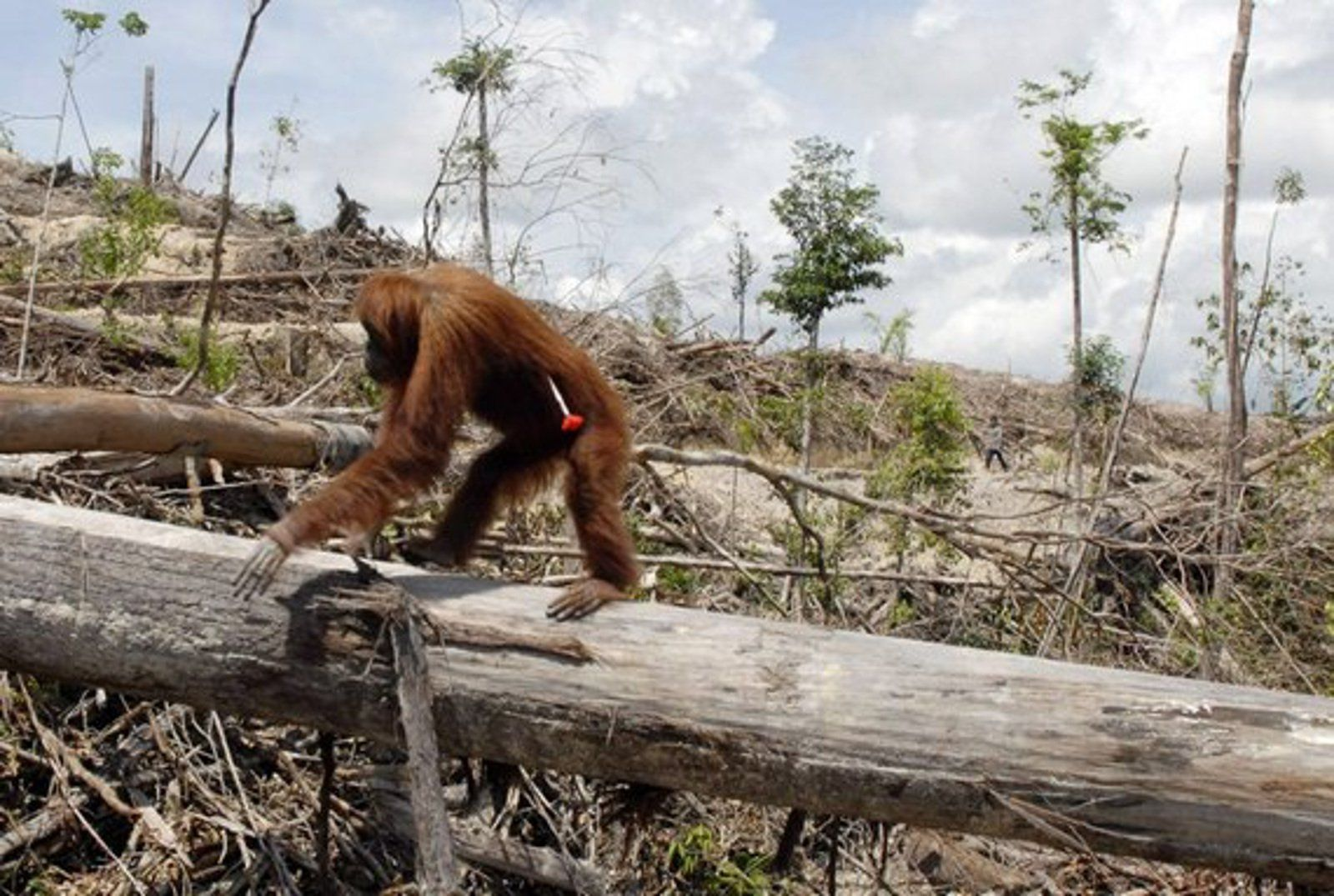 heartbreaking image shows real cost of cheap palm oil