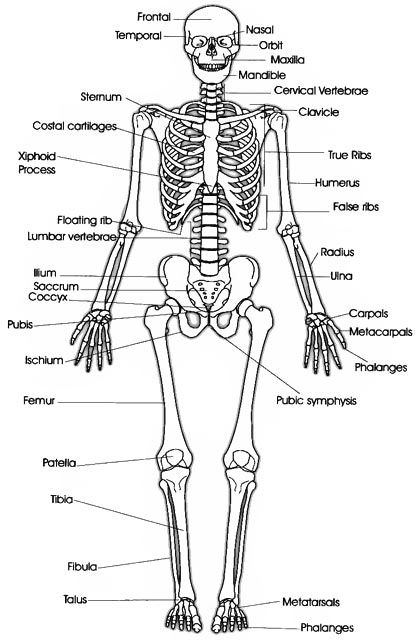 the skeletal system consists of all the bones in the body and the, Skeleton