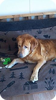 Plainfield Il Golden Retriever Mix Meet Haskell A Dog For