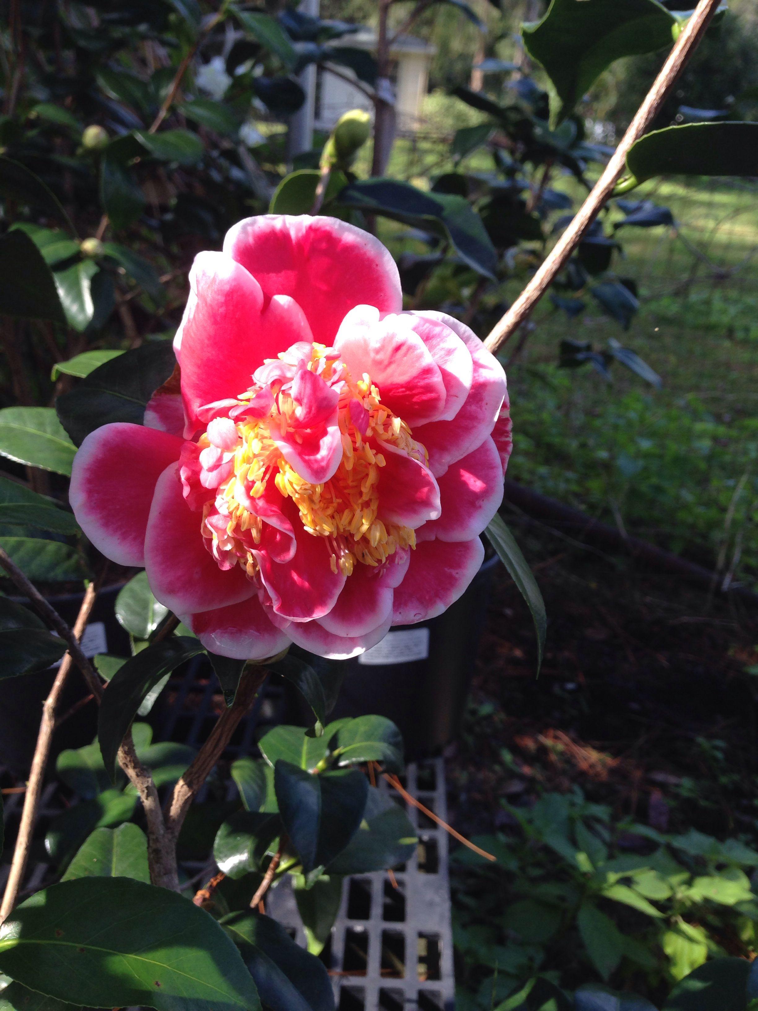 Camellia Japonica Bob Wines Camellia Gardens Ocala Fl Shade Garden Camellia Garden