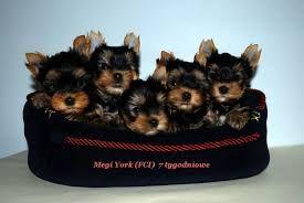 Znalezione obrazy dla zapytania yorkshire terrier