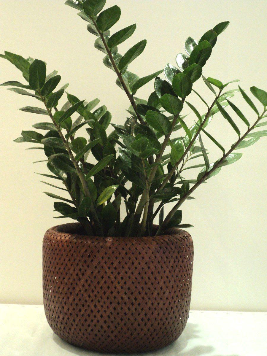 Plantas ideais para ambientes internos zamioculca for Zamioculcas exterieur