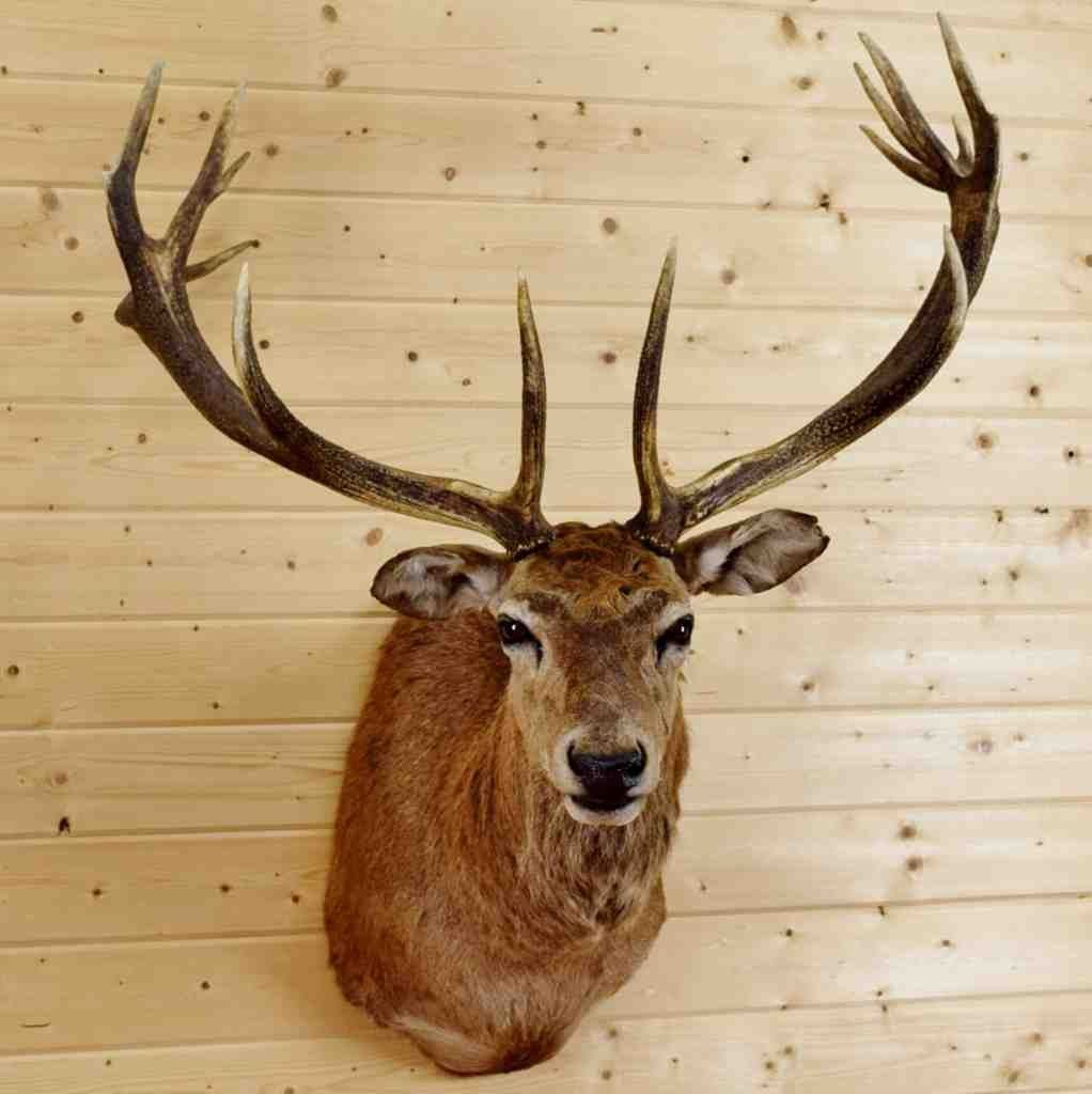 Red Stag Taxidermy Mount for Sale - SW4317 | Exotic