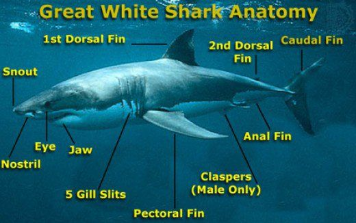 Interesting Facts About Great White Sharks for Kids | Presentations ...