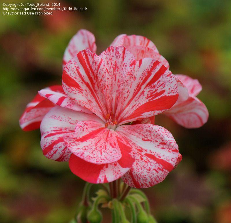 "ORANGE RED PELARGONIUM ZONAL GERANIUM FRESH LIVE PLANT 4 X 8/"" STARTER CUTTINGS"