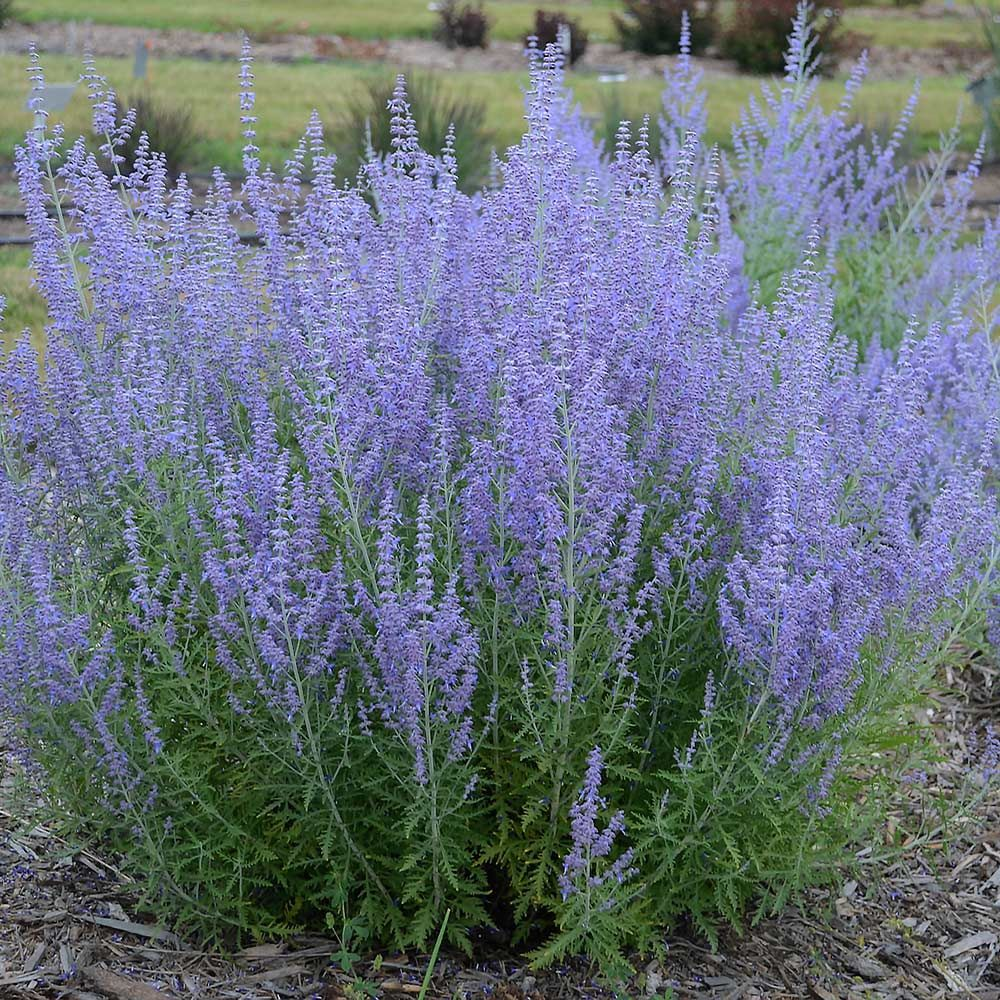 Kotovnik Fassena: description, variety, photo. Planting and care, cultivation 63