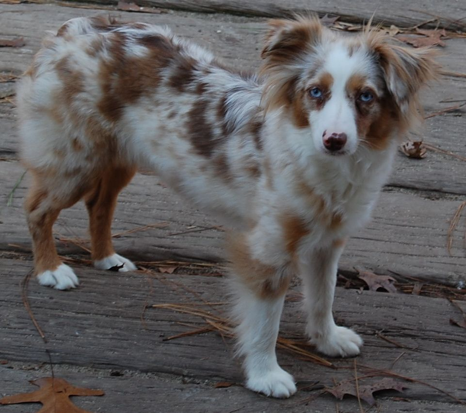 Mini Aussie Shepherd Red Merle Next Puppy I Want As A Buddy For