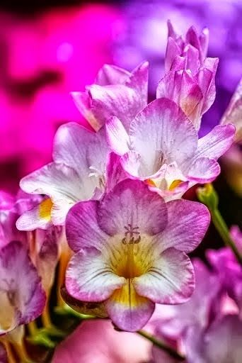 Freesia Fantastic Flowers And Gardens Beautiful Flowers Amazing Flowers Freesia Flowers
