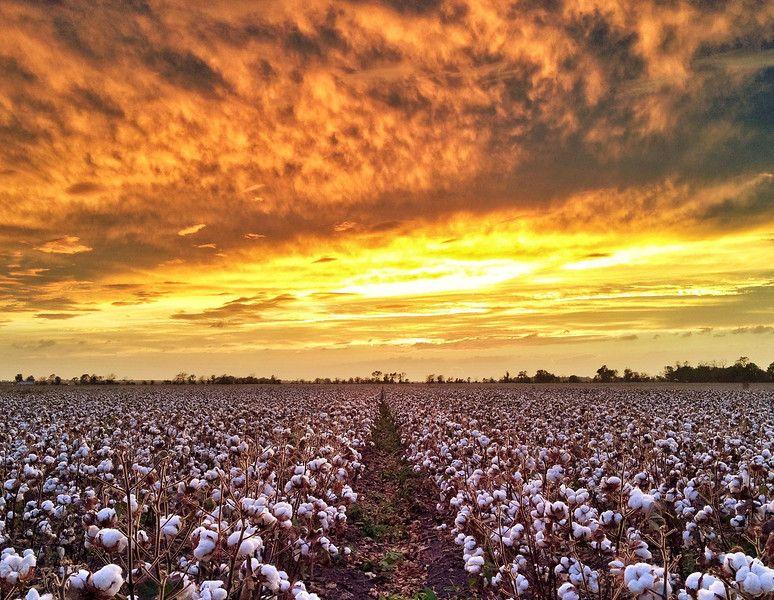 ผลการค้นหารูปภาพสำหรับ cotton fields  sunsets hdr