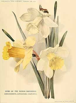 273066 Narcissus / The garden. An illustrated weekly journal of horticulture in all its branches [ed. William Robinson], vol. 72:  (1907)