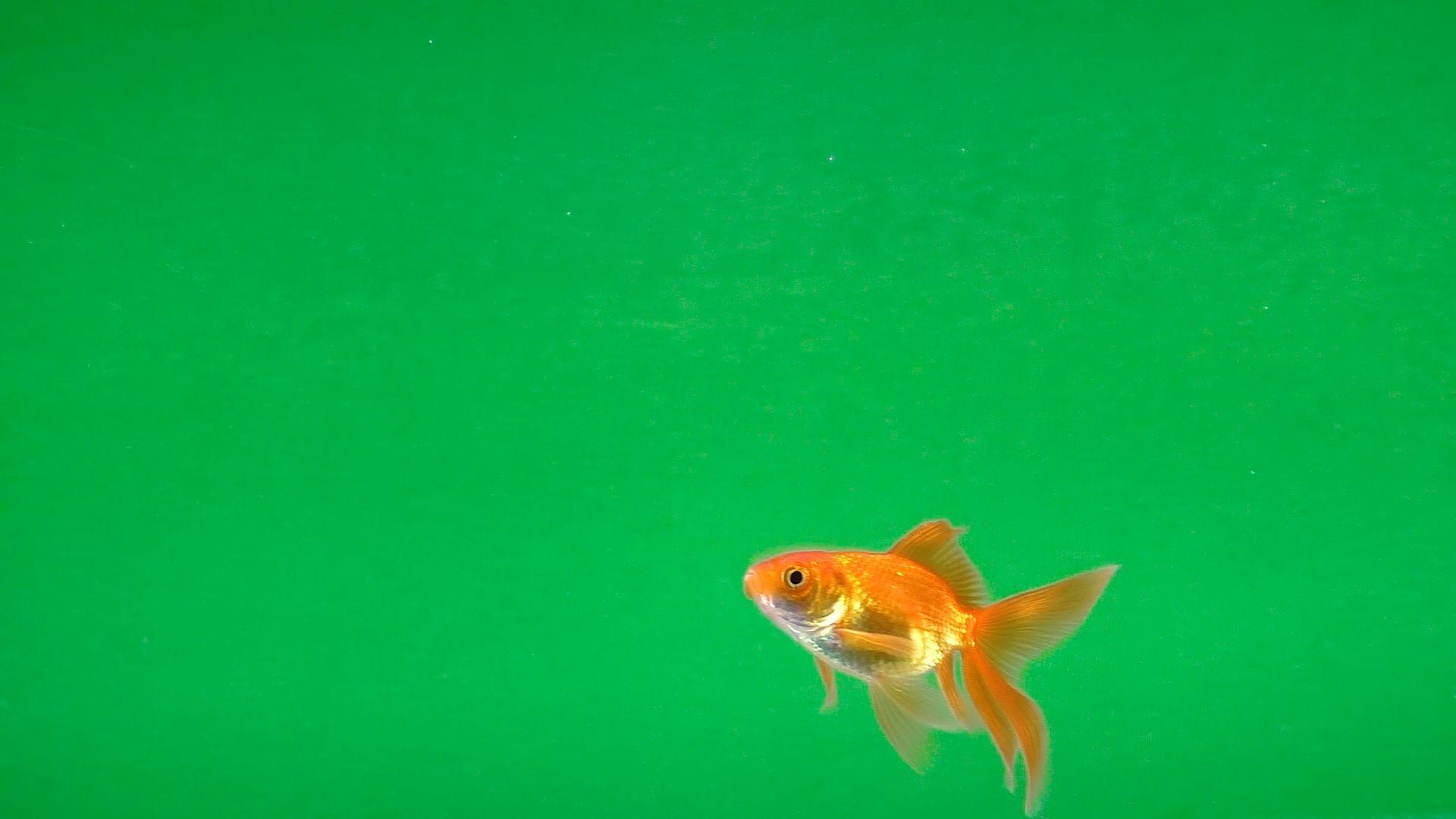 goldfish swimming free on green screen stock footage free swimming
