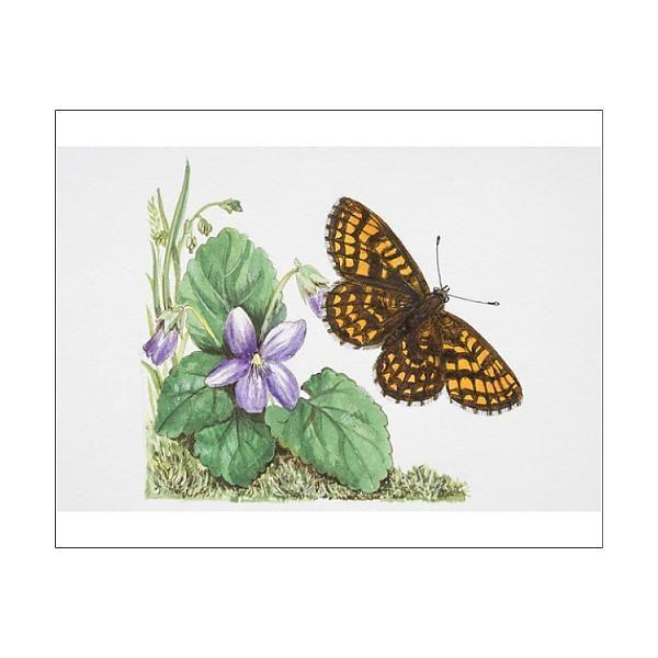 17+ 25cm Photo. Heath Fritillary butterfly Melitaea athalia flying