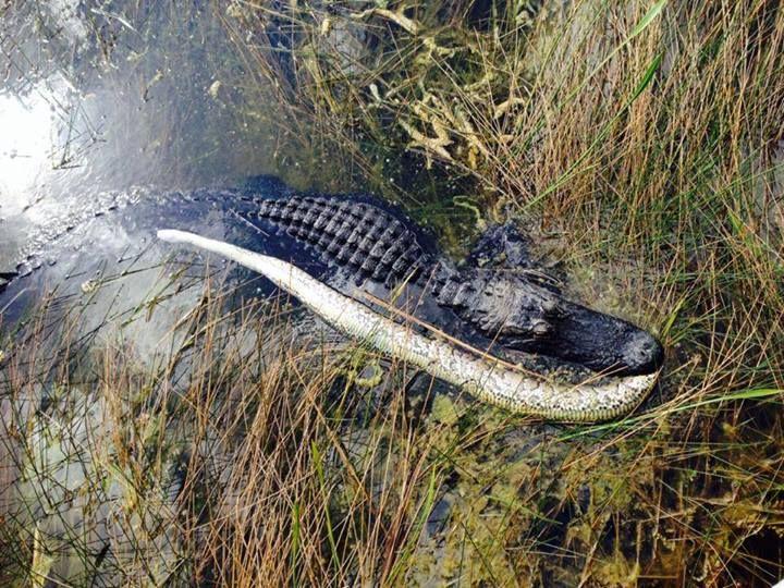 Florida Gator And Invasive Python Prey Everglades National Park