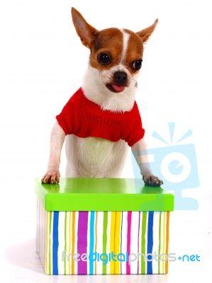 Chihuahua With Gift Box Chihuahua Pets Pet Adoption