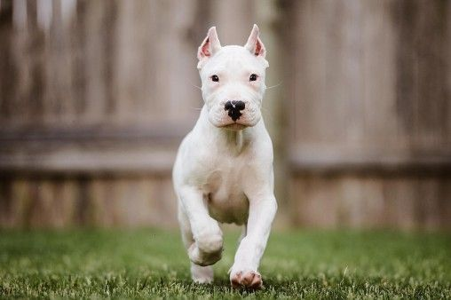 Doggy Pics Dog Breeds Dogs Dog Argentino