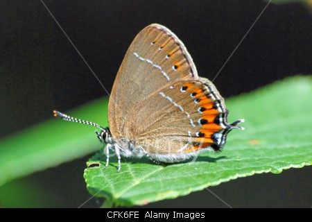 Black hairstreak butterfly (Satyrium pruni) resting on a green leaf. This small brown butterfly is one of Britain's most localised and rarest.