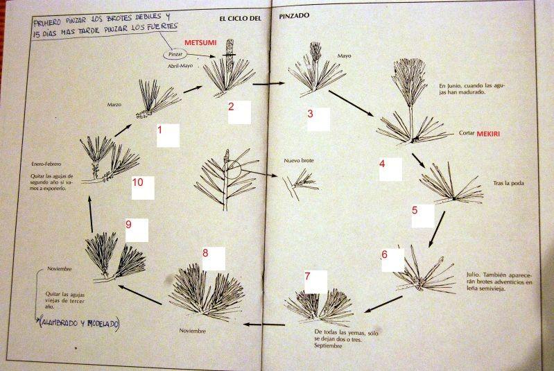 Diseño de Pino Hallepensis : Brotacion Trasera - Página 2