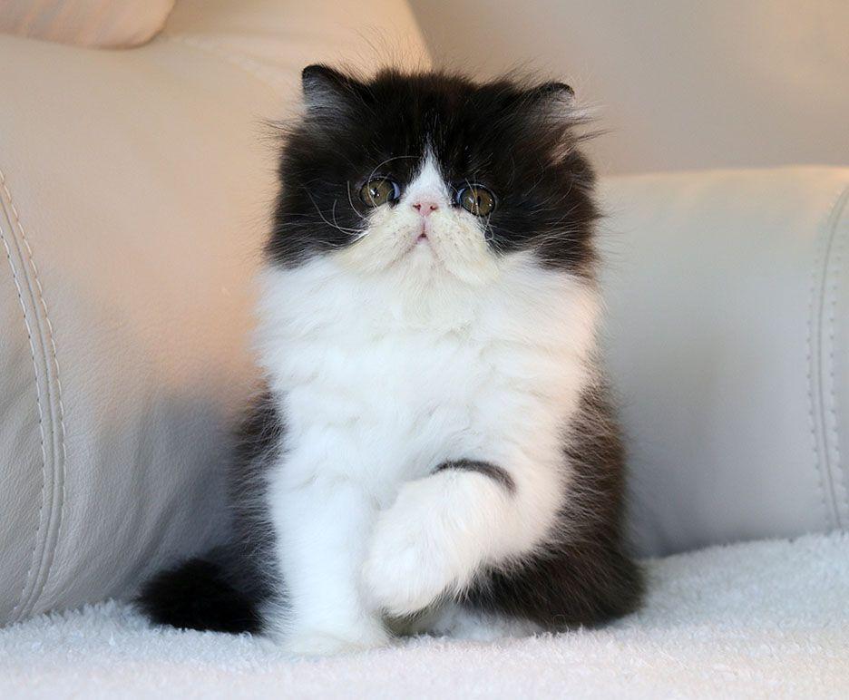 Alfenloch Himalayan Persians Breeders Ontario Canada Himalayan Persian Cats Persian Kittens Himalayan Kitten