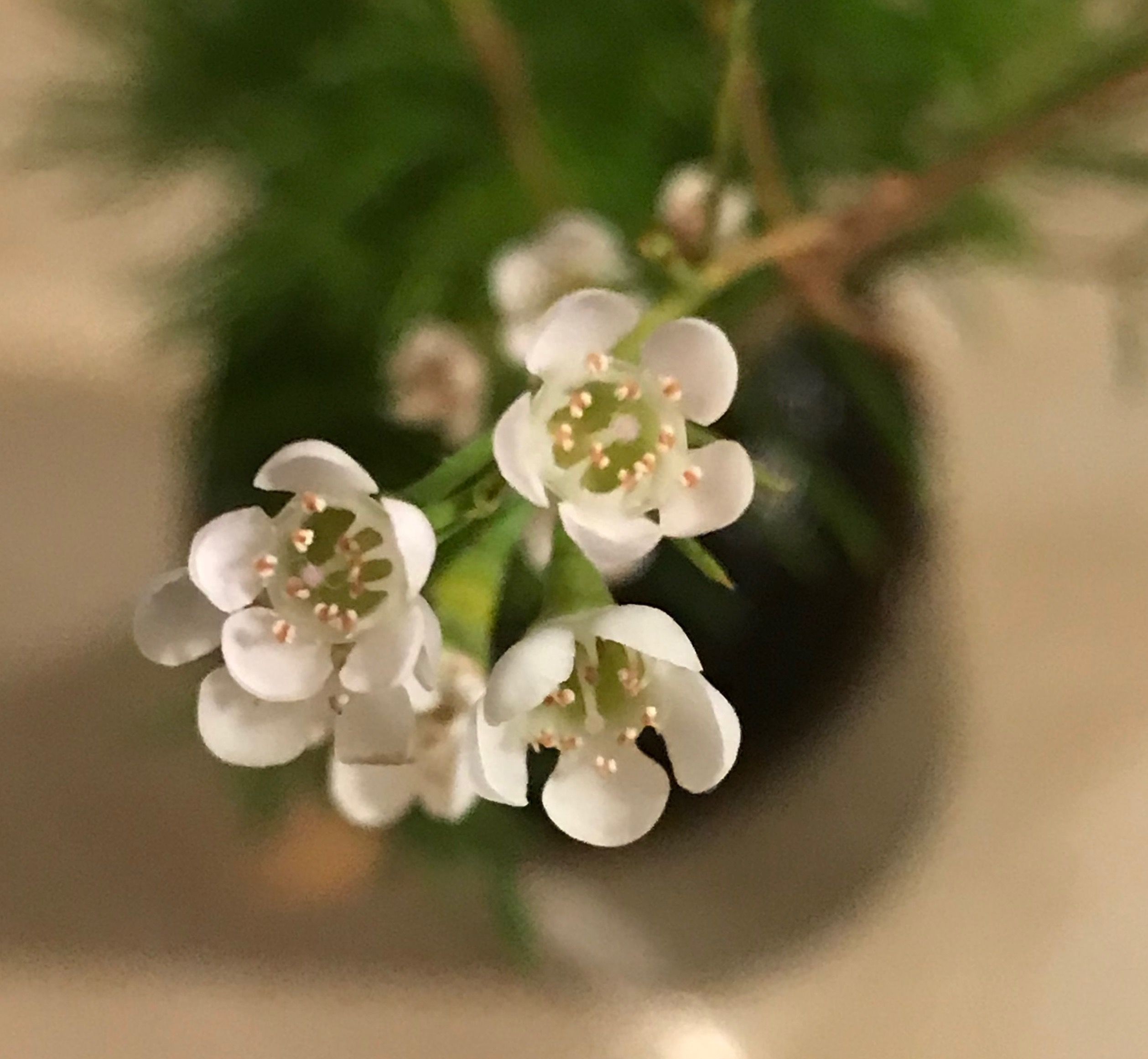 Waxflower Chalmecium The Sweetest Tiny Twiggy Flower There Is In