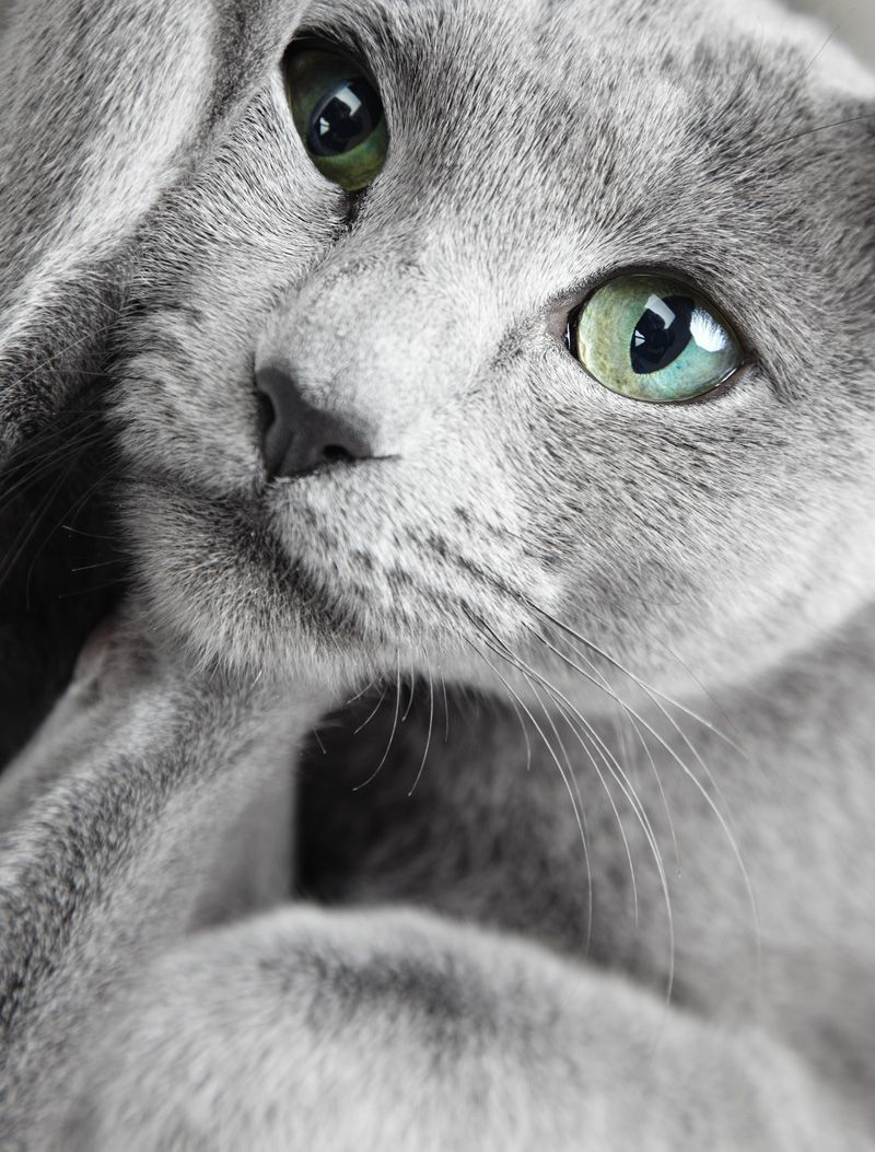 20  Best Of Russian Blue Eyes