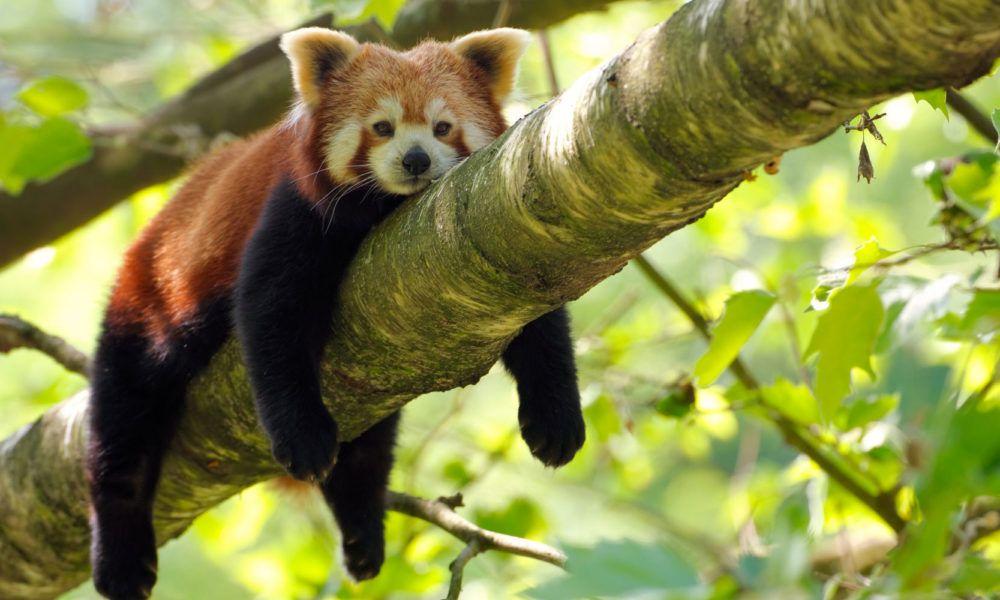 Les Animaux En Voie De Disparition Et Especes Menacees Les Animaux En Voie De Disparition Animaux Panda Roux