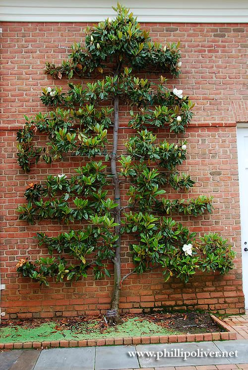 Espalier Magnolia Trees Walking Through The Visitors Center And