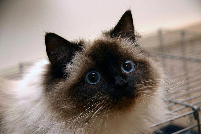 Süße Katzenrassen