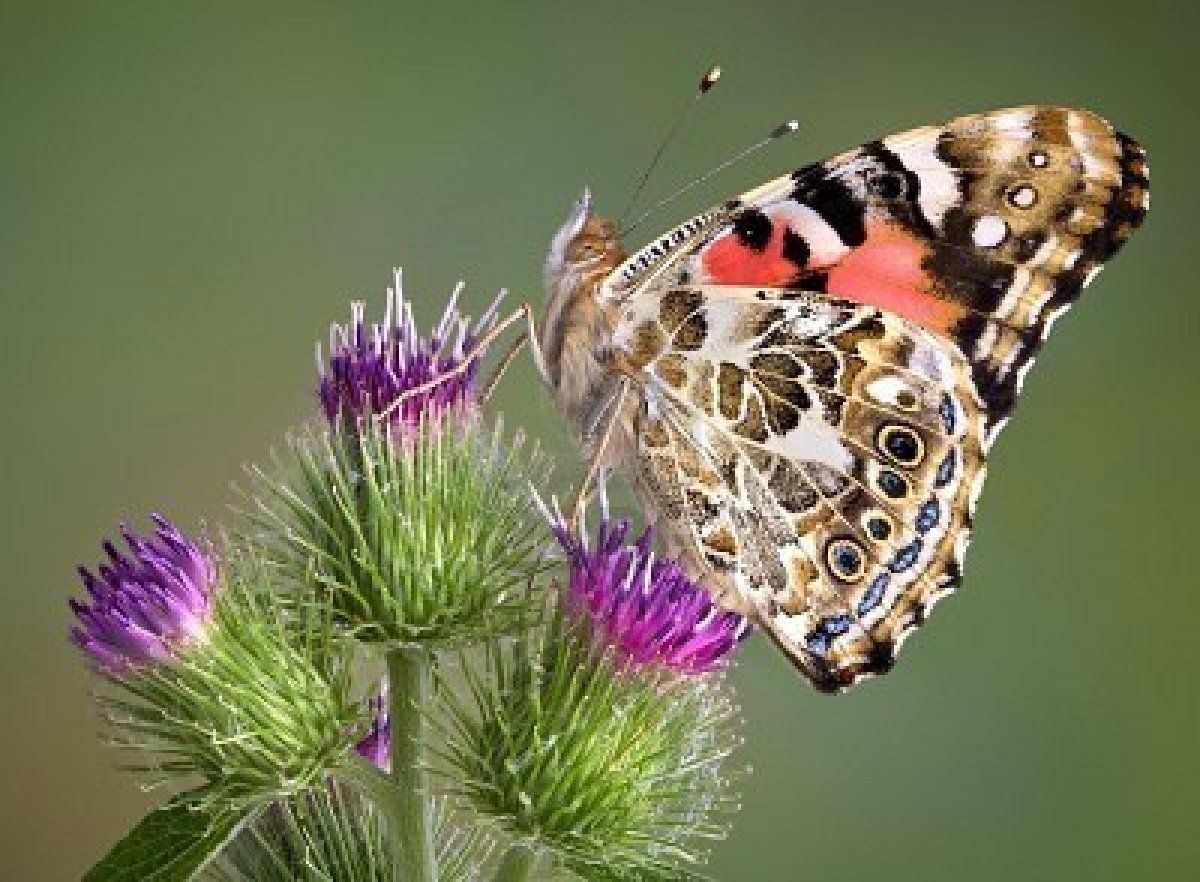 Thistles Are One Of The Painted Lady Butterfly S Favorite