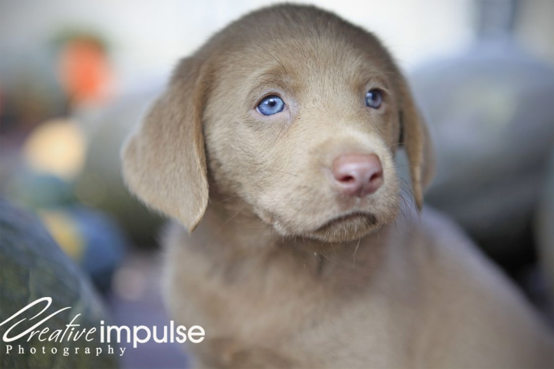 Chocolate Lab Puppies With Blue Eyes Lab Puppies With