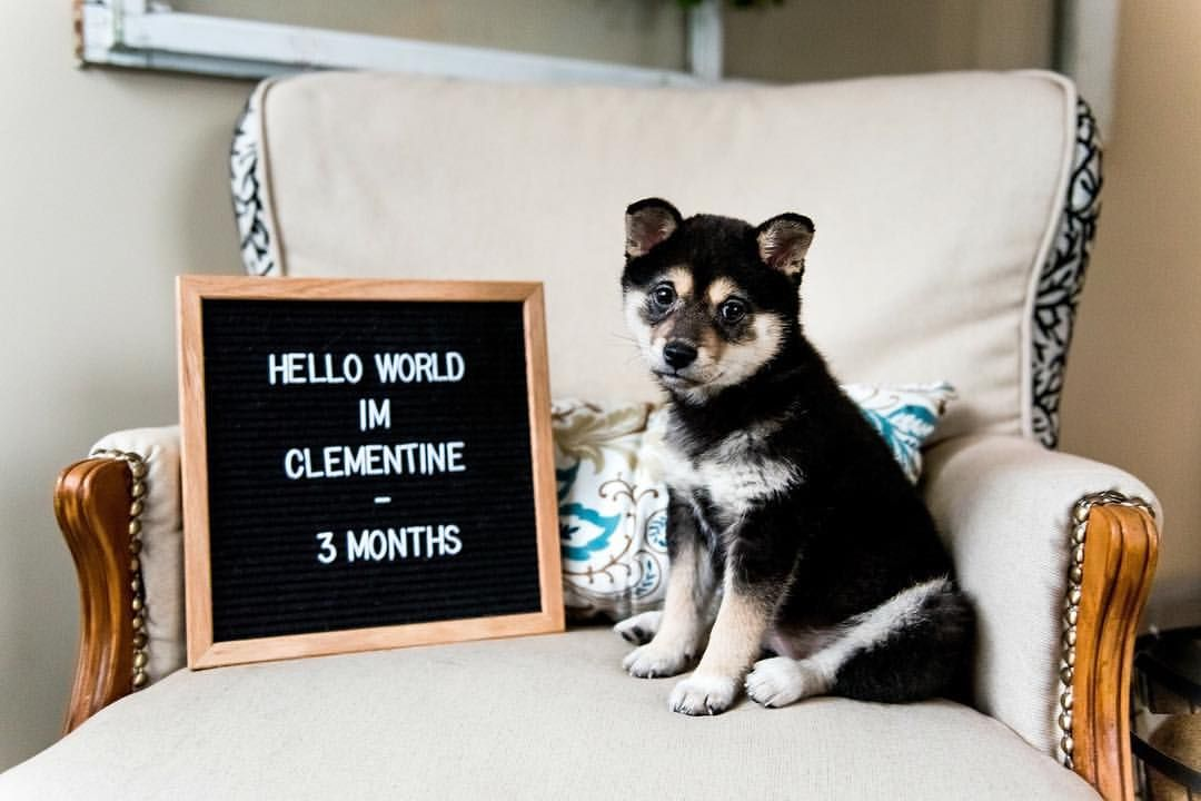 Puppy Announcement Letterboard Letterboard Quotes Shiba Inu Puppy Welcome To The World Letterboard Puppy Announcement Baby Puppies Kitten Adoption
