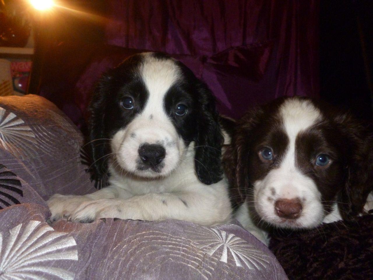 English Springer Spaniel Puppies Warrington Cheshire