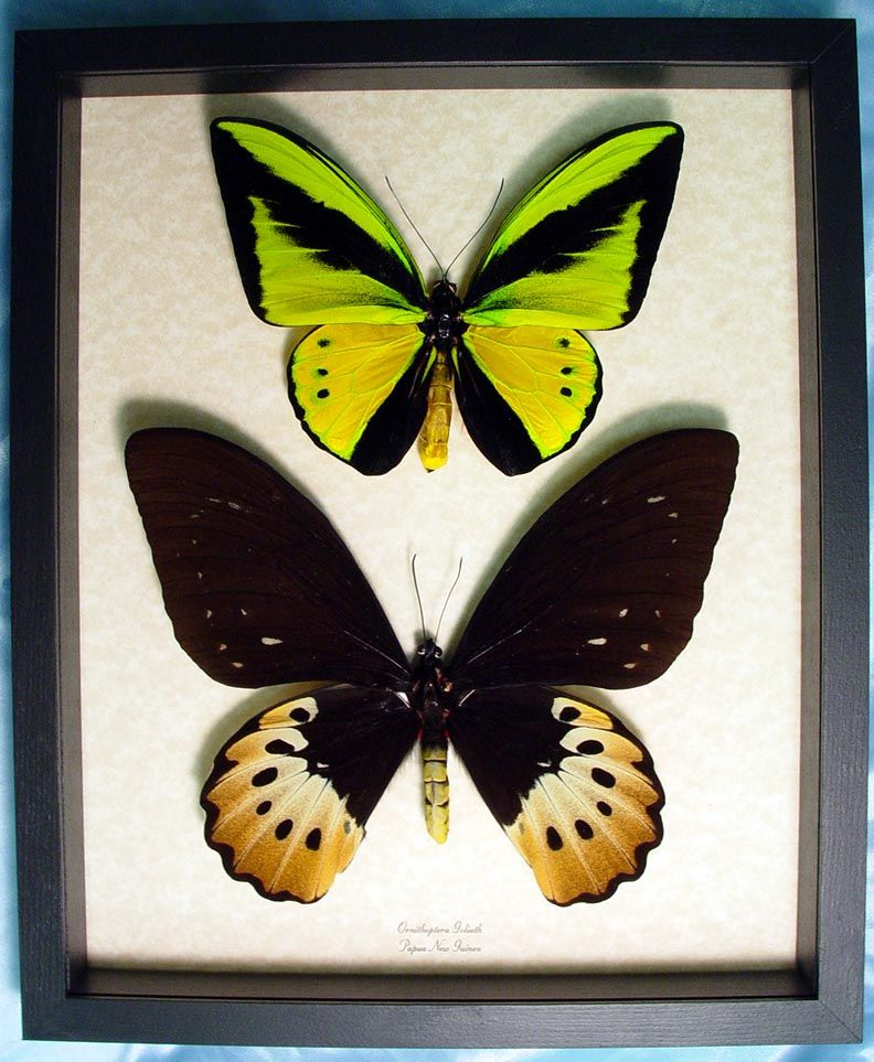 bfbfdf780ec Ornithoptera Goliathus, Papua New Guinea butterflies exotic butterflies and  more, exotic butterflies, framed butterfly gifts, framed Butterfly, ...