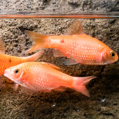 Rosy Barbs Tropical Fish Tanks Aquarium Fish Fish