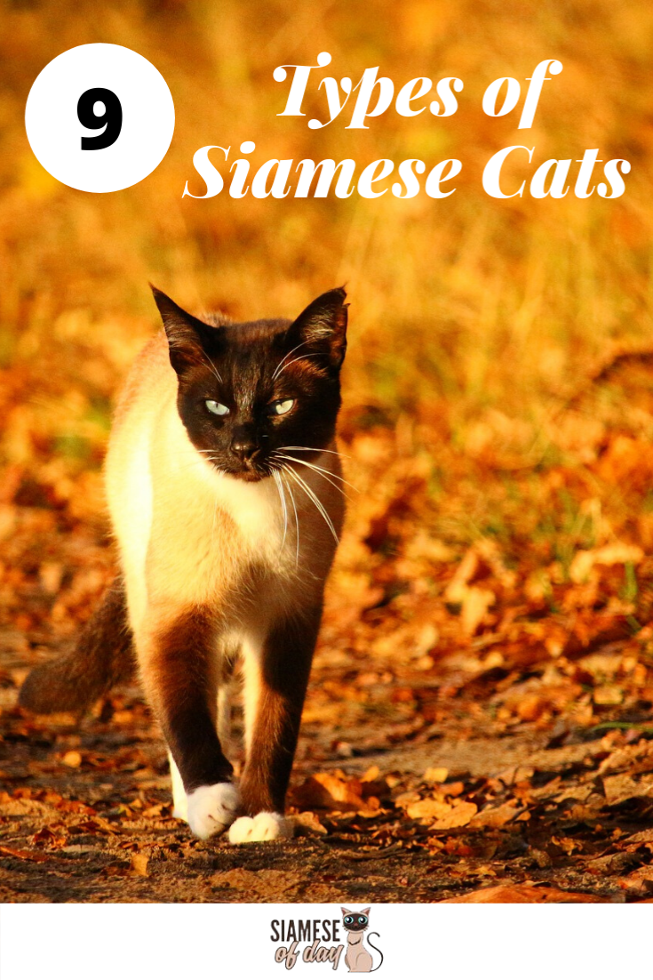 How Many Types Of Siamese Are There Here S The Answer Siameseofday Siamese Cats Siamese Cats