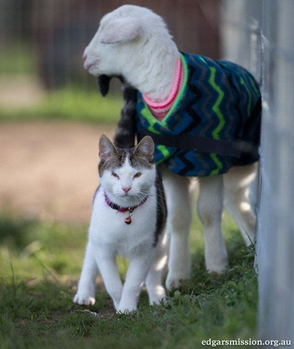 Meet Stitch the Rescued Kitten Who is the World\u0027s Cutest Farm Animal