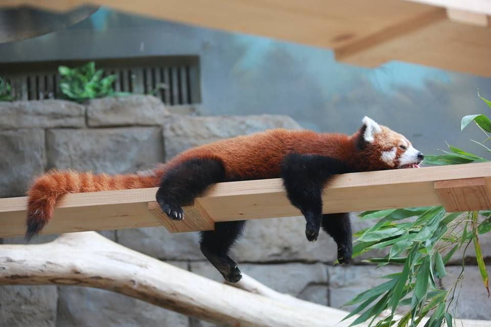Red Panda Red Panda Cute Baby Animals Panda