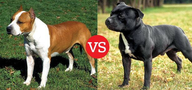 What S The Difference Between The American Staffordshire Terrier And The Staffordsh Staffordshire Terrier American Staffordshire Bull Terrier Bully Breeds Dogs