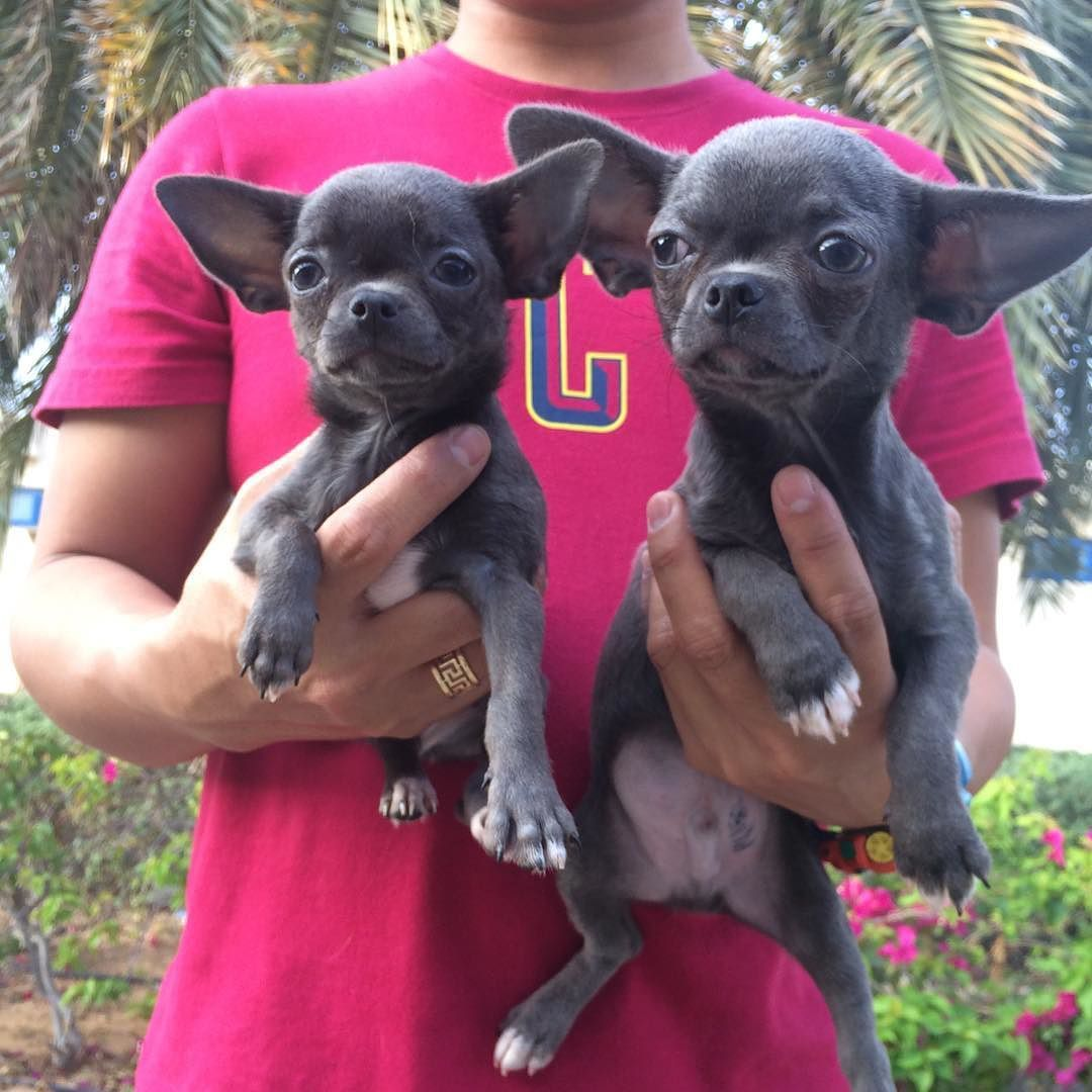 Pets In Uae Fur Z N Feather Z On Instagram Tea Cup Blue Chihuahua Puppy Available For More Info Contact 05052 Chihuahua Puppies Blue Chihuahua Dog Behavior