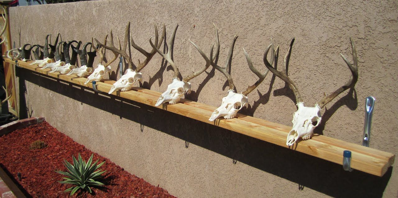 How to clean a deer skull easy proffesional european