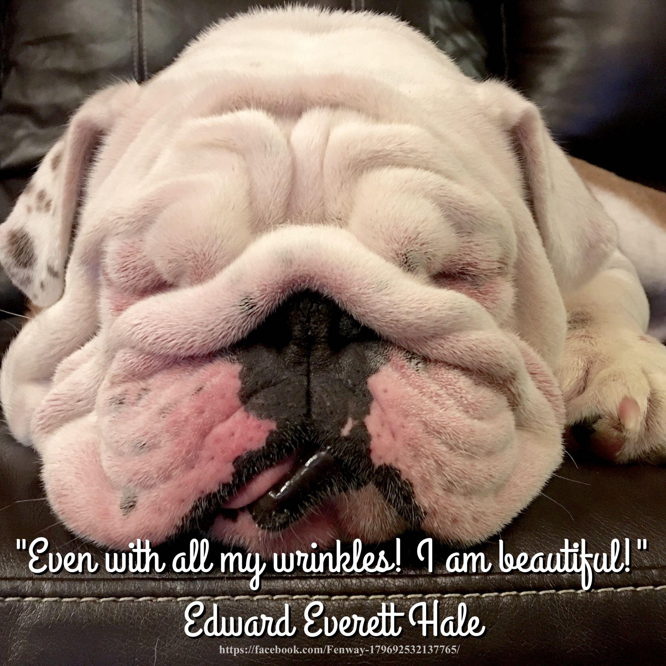 24mar16 Lola Bulldogs Wrinkles Quotes English Bulldog Funny Bulldog Funny Bulldog