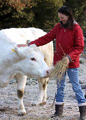 white cow being petted