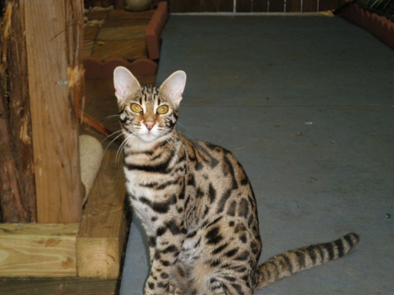 Bengal Cat Bengal Cat Breeder Royal Bengal Cats Golden