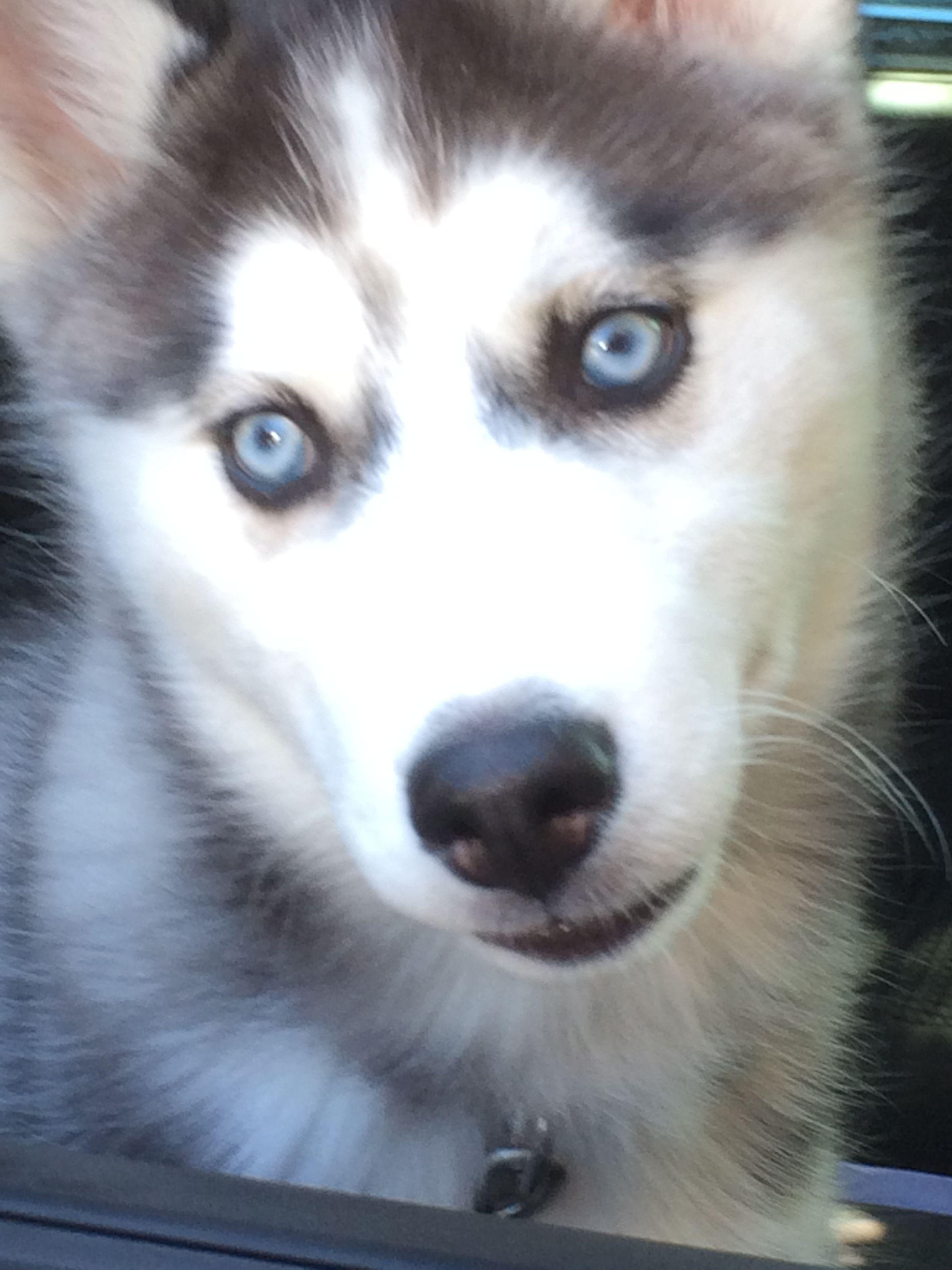 Siberian Husky Dog For Adoption In Newport Beach Ca Adn 557033