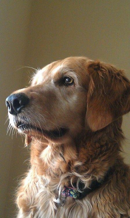 Pin De Marcela Jordan En Perros Golden Labrador