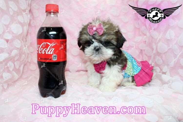 Teacup Toy Shih Tzu Puppies In Las Vegas Available Now By